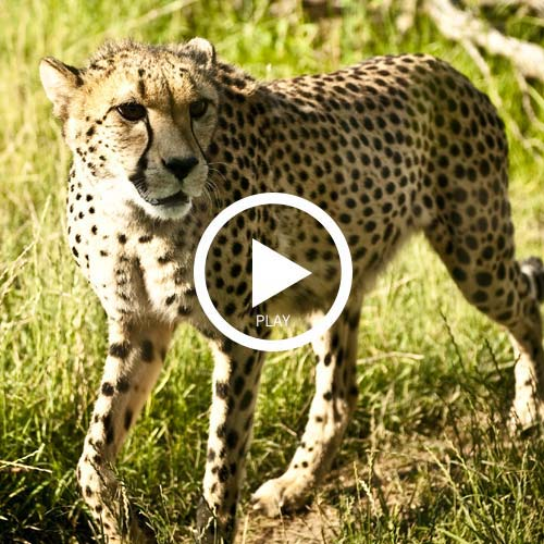 Wild ones cheetahs videoplay