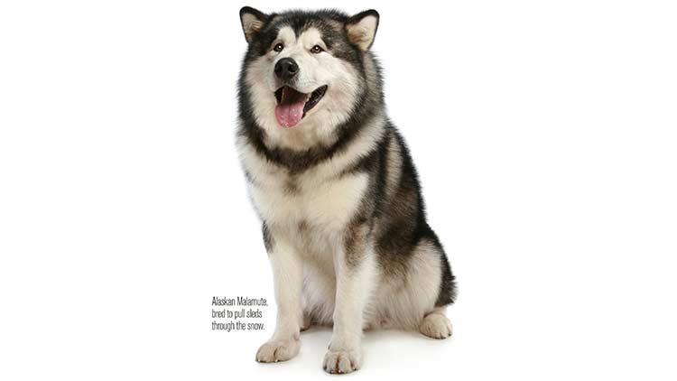Dogs malamute