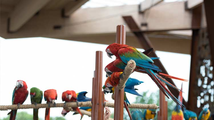 Macaws36