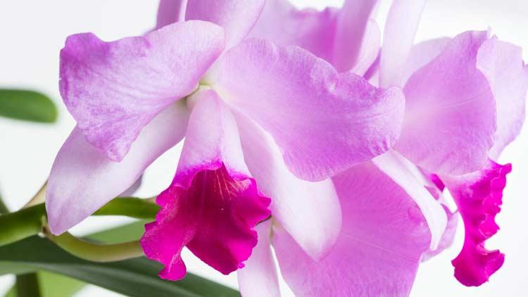 Orchidsima