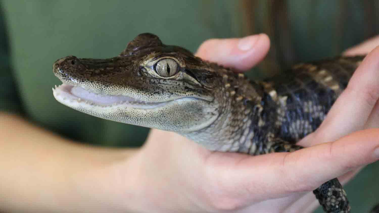 Alligators & Crocodiles - The Fight to Survive 10